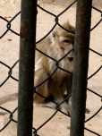 One of dozens of monkeys at the nature reserve.