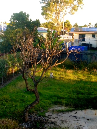 We were so busy working I didn't get the time to take many photos during my flying visit to Queensland. In fact, I took just two photos - both of this kookaburra who came to visit in the tree out the back around sunset.