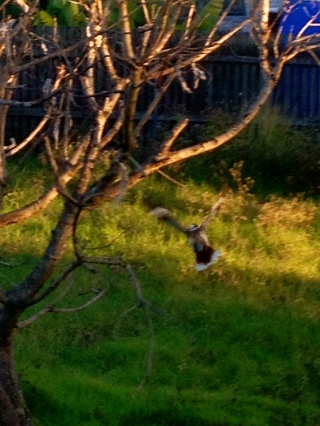 Before I could attempt a better photo of the kookaburra, it decided to fly off, but I managed to grab this shot as it went!