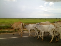This herd of cattle were roaming wild across the road and countryside.