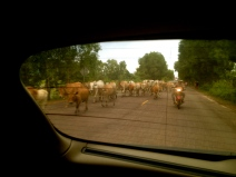 We had already navigated our way through these cattle when I took this shot through the rear window.
