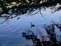 This is a swan on the Yarra River, but it does remind me of those classic old grainy images of the Loch Ness Monster!