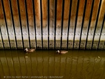 A couple of ducks on the Yarra River.